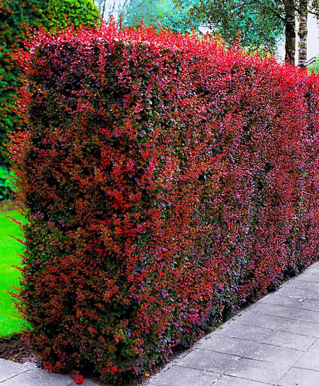Зеленый забор из растений