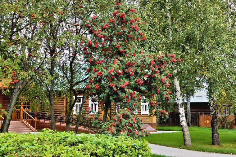 ryabina-krasnaya